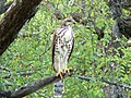 Forest buzzard outside our house (394258678).jpg