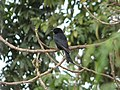 Fork-Tailed Drongo.jpg