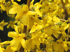 Forsythia x intermedia