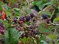Früchte der Brombeere.JPG