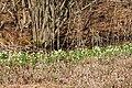 Frühlings-Knotenblume, Leucojum vernum 32.JPG