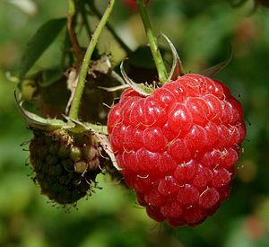 A raspberry (Rubus idaeus). Italiano: Un lampo...