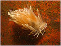 Frosted Nudibranch (1176577849).jpg