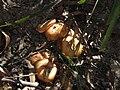 Fungi sp. (41667894874).jpg