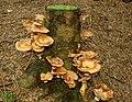 Fungus, Hillsborough forest 08-16 - geograph.org.uk - 951252.jpg