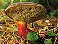 Fungus or Mushroom at the Westonbirt Arboretum - geograph.org.uk - 69598.jpg