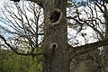 Górecko Kościelne. Stare drzewo. - panoramio.jpg