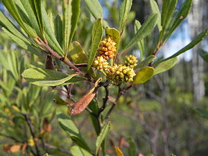 Myrica - Female Myrica gale plant