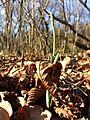 Galanthus nivalis sl3.jpg