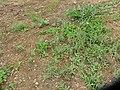 Gamochaeta calviceps (Fern.) Cabrera (AM AK330066-1).jpg