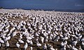 Gannets Malgas Island. Saldanha Bay.jpg