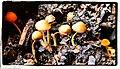 Garden Mushrooms - Flickr - pinemikey.jpg