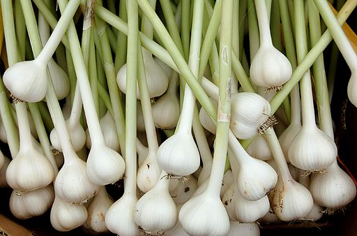 Garlic organically grown