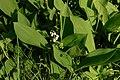 Garphyttan Lily of the valley.jpg