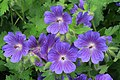 Garten-Geranium Hybride (Geranium × magnificum) in Ulm.jpg