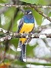 Gartered Trogon.jpg