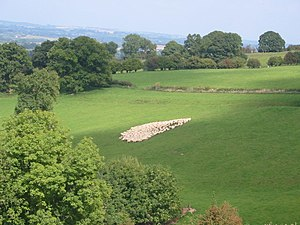 Gathering Sheep. Gathering sheep at a Welsh Sh...