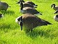 Geese 5.jpg