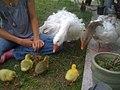 Geese and Goslings01.jpg