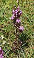 Gentianella germanica 030905.jpg