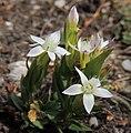 Gentianella sp. (36843340201).jpg