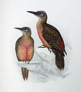 Geocolaptes olivaceus00