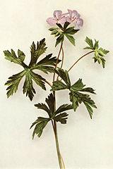 Geranium maculatum WFNY-120.jpg