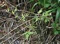 Geranium purpureum.jpg