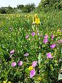 Geranium sanguineum sl2.jpg