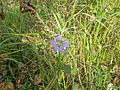 Geranium wlassovianum.jpg