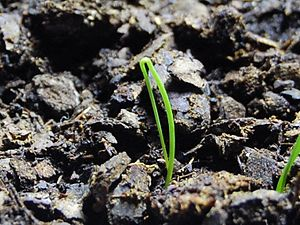 Scallion - A germinating scallion, 10 days old