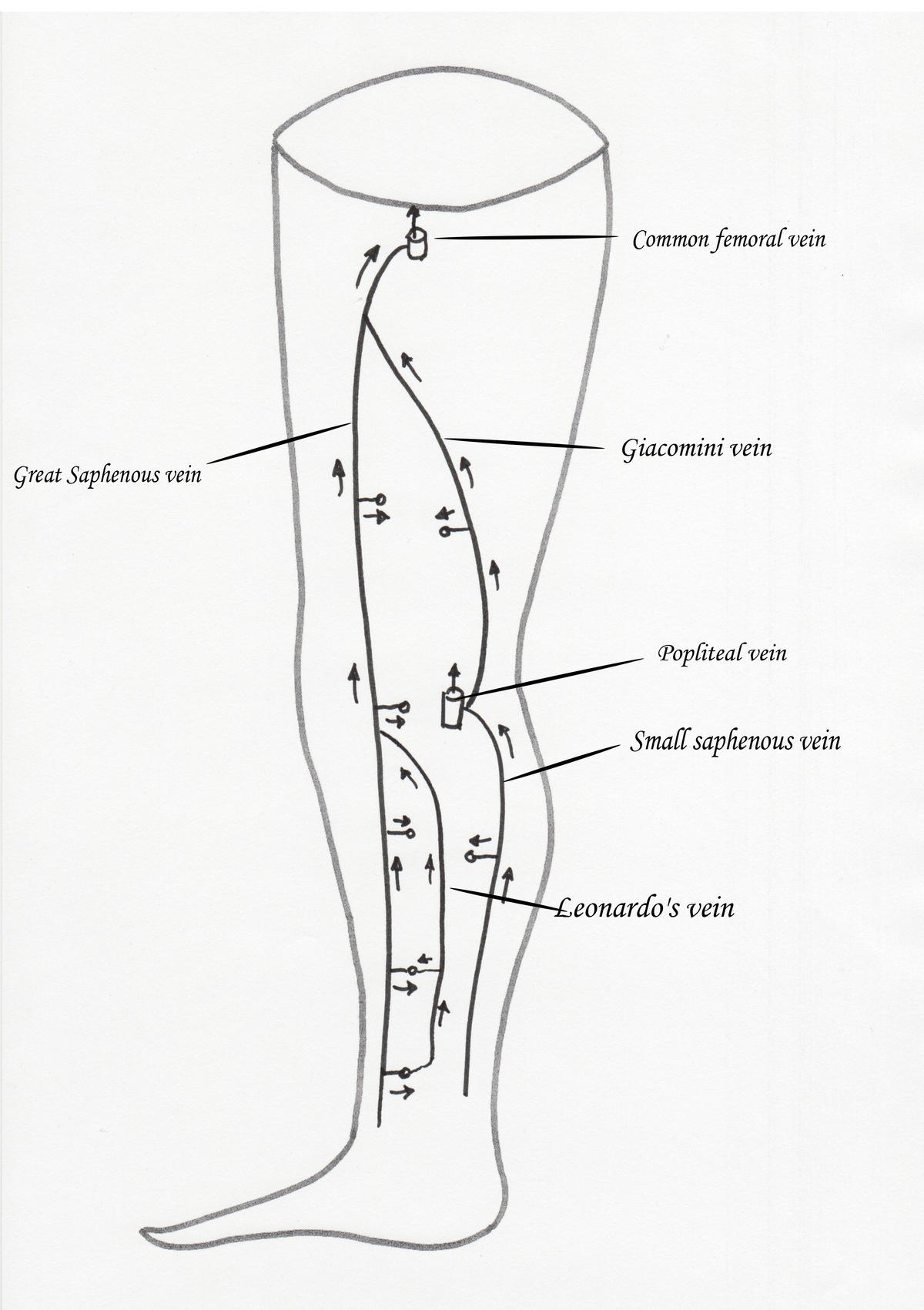 Giacomini Vein Wikipedia