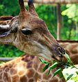 Giraffe 8550.jpg