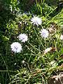 Globularia cordifolia 03.JPG