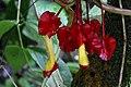 Glossoloma tetragonoides = Alloplectus tetragonoides (Gesneriaceae) (29575656352).jpg