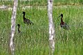 Glossy Ibis (Plegadis falcinellus) (8082779465).jpg
