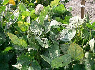 Sója fazuľová (Glycine max)