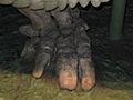Glyptodon (foot).jpg