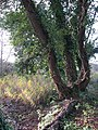 Gnarled old tree growing by the canal - geograph.org.uk - 1053609.jpg