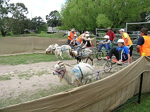 Feral goats in Australia - Children racing feral goats at Woolbrook, NSW.