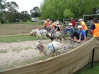 Woolbrook, New South Wales - Juniors racing feral goats at Woolbrook, NSW
