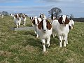 Goats at Morley Farm - geograph.org.uk - 1851424.jpg