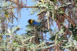 Golden-collared Tanager (Iridosornis jelskii).jpg