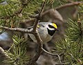 Golden-winged Warbler, Tawas Point State Park, 17 May 2014 (14031168117).jpg
