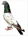 Golden Pigeon Pakistan.jpg