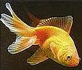 Goldfisch 1.jpg