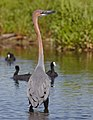 Goliath Heron, Ardea goliath at Marievale Nature Reserve, Gauteng, South Africa (44774365624).jpg