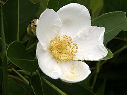 Gordonia lasianthus1ScottZona.jpg