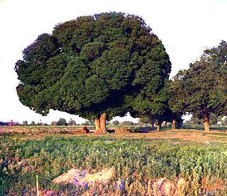 <i>Ulmus</i> Androssowii Elm cultivar
