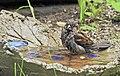 Gråsparv House Sparrow (19730189103).jpg
